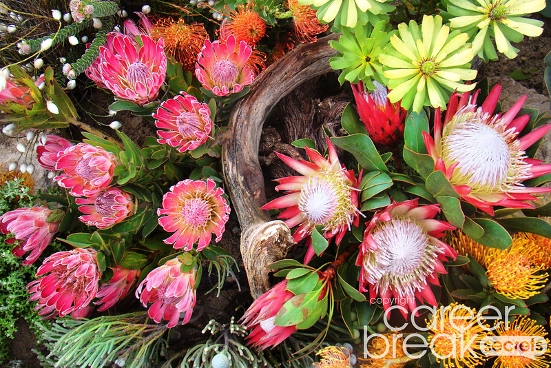 proteas, fynbos, career break travel adventures in south africa