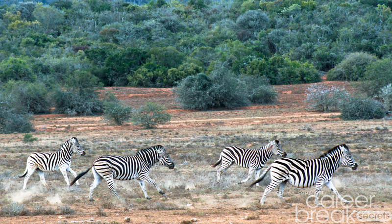 career break travel adventures in South Africa, Addo Elephant National Park, zebras in Africa