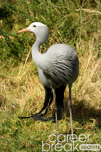 blue crane, birds of eden, plettenberg bay, career break travel adventures in south africa