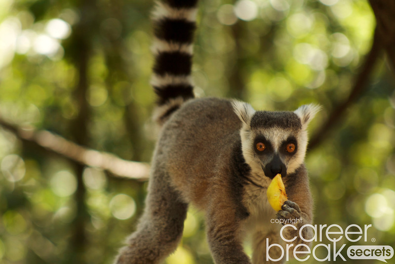 ring-tailed lemurs, Monkeyland, career break travel adventures in South Africa